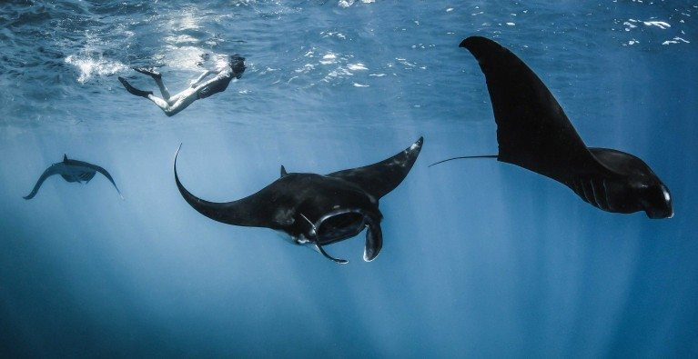 Saving Indonesia's manta rays