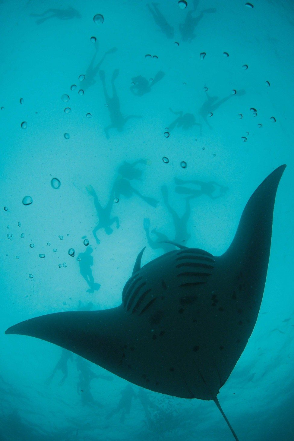 A reef manta ray (Manta alfredi) swims in tight backward summersaults, looping over and over again as it feeds on a dense patch of planktonic prey, while snorkellers above watch the performance.<br /> Photo by Thomas Peschak