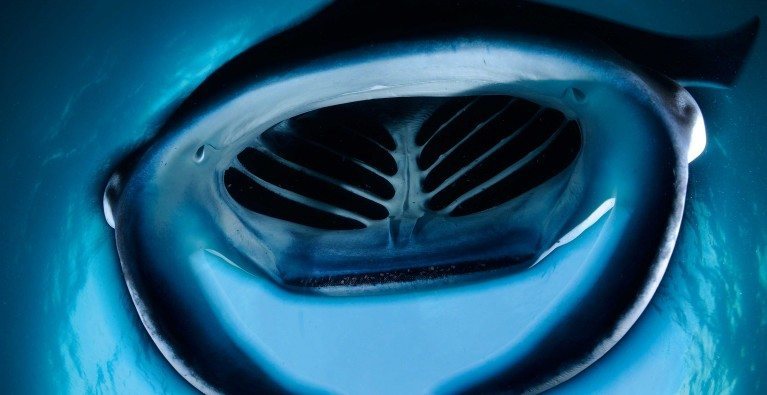 Indonesian Manta Rays Protected