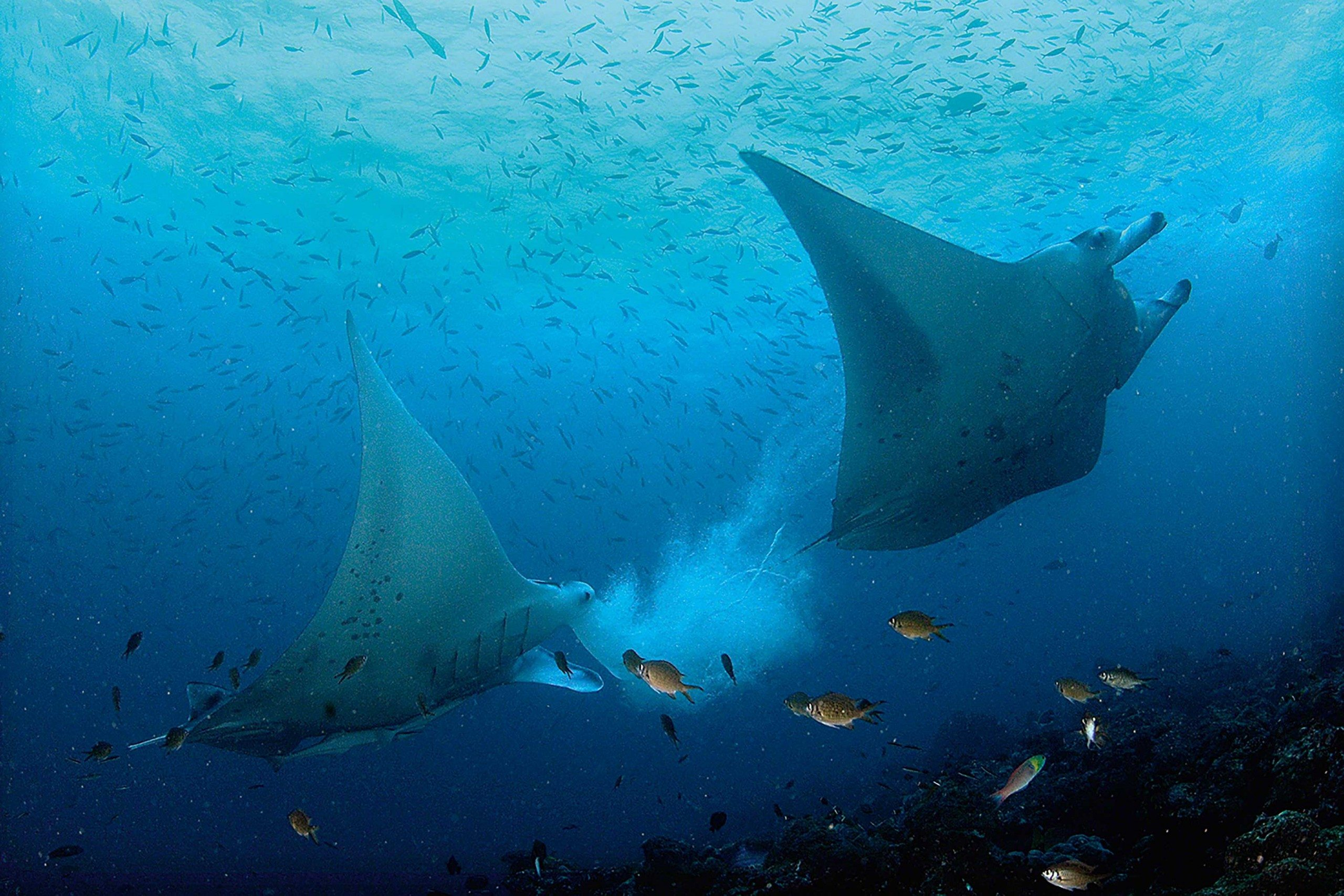 Manta ray swimming underwater with its dorsal fins spread open viewed - A Cloudy Gill Full Of Detritus And Trapped Plankton Is Coughed Up By A Manta As It Hovers Above A Cleaning Station Providing An Extra Tasty Treat For