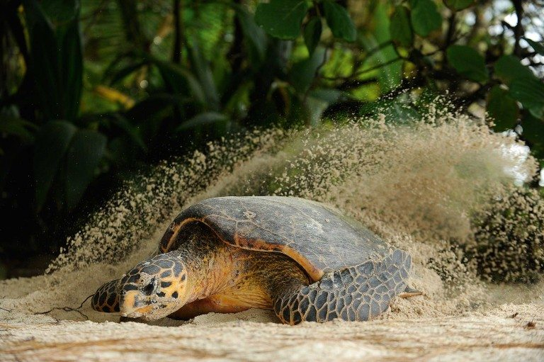 A Hawksbill turtle (Eretmochelys imbricata) prepares its nesting site on the beach crest of D'Arros Island. Photo by Thomas Peschak