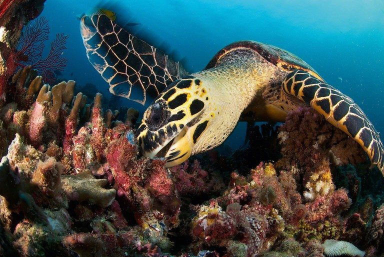 A juvenile hawksbill turtle feeds on sponges. Photo by Rainer von Brandis