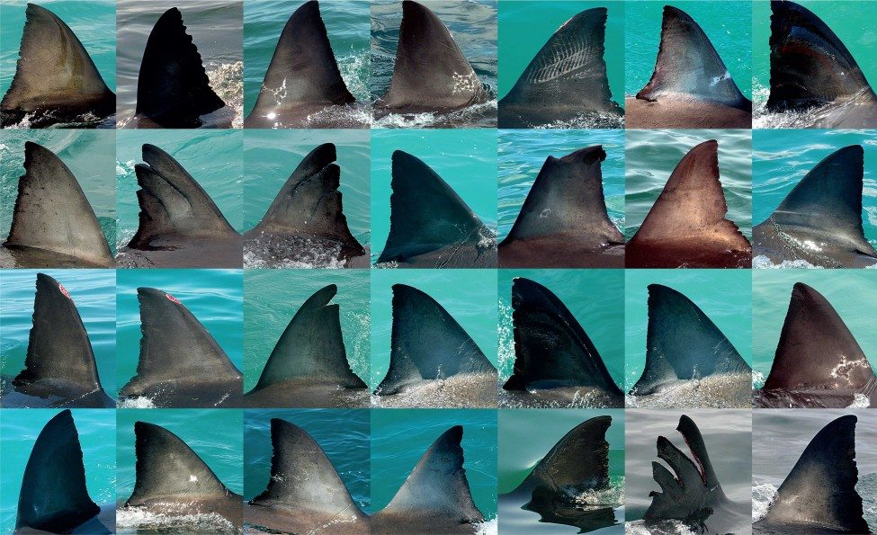 Michael's finprinting technique allowed his team at the White Shark Trust to identify more than 1,500 dif­ferent white sharks from 1997 to 2007, including the legendary Nicole.<br /> Photos by Michael Scholl