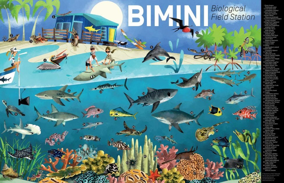 Bimini Wildlife<br /> Artwork by Rohan Chakravarty
