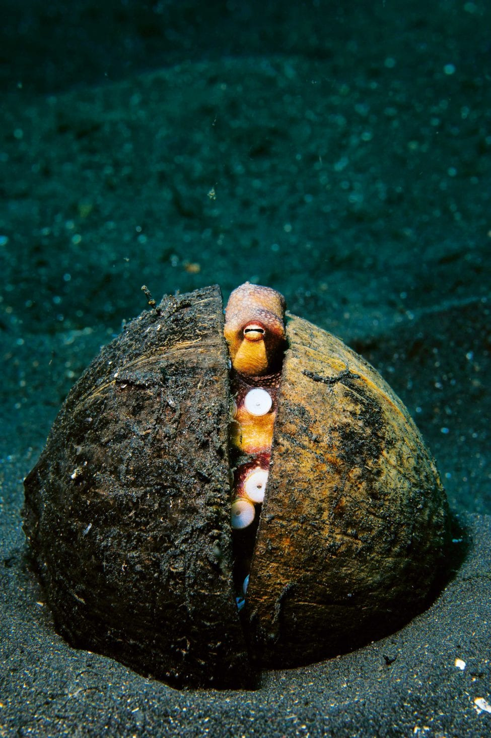The coconut octopus, found in Lembeh Strait, Sulawesi, secretes itself inside a shell for shelter and as camouflage from predators. <br /> Photo by Stocktrek Images | National Geographic Image Collection