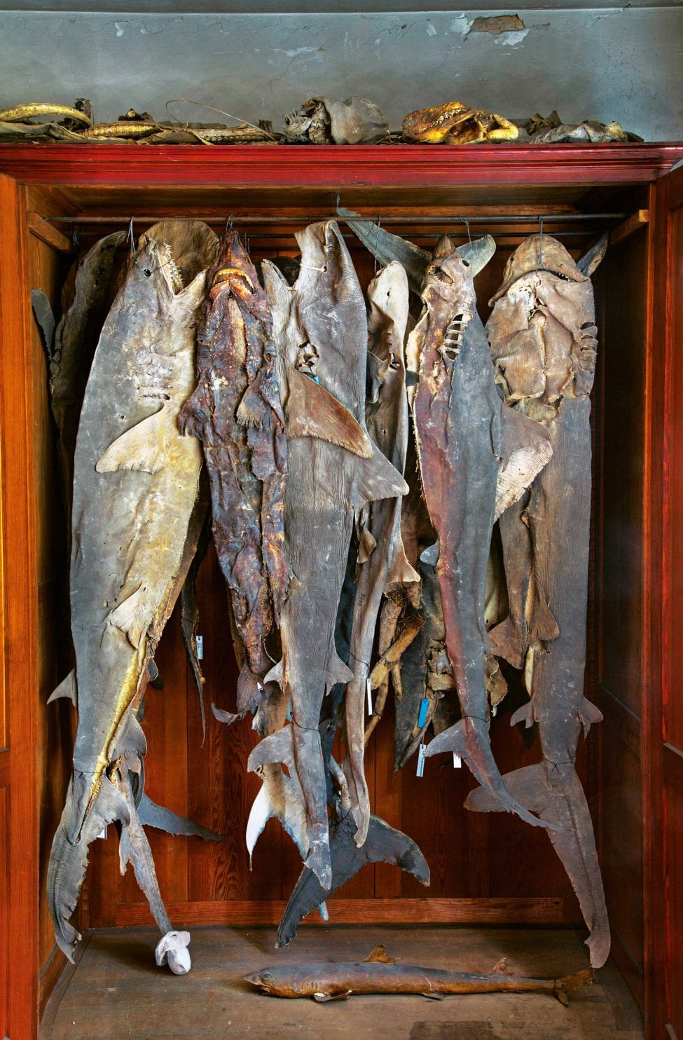 'Type specimens', like these shark skins from the 18th and 19th centuries in Berlin, Germany, are often samples stored in natural history museums. They form the basis on which taxonomists describe and name species.<br /> Photo by Gerd Ludwig | National Geographic Image Collection