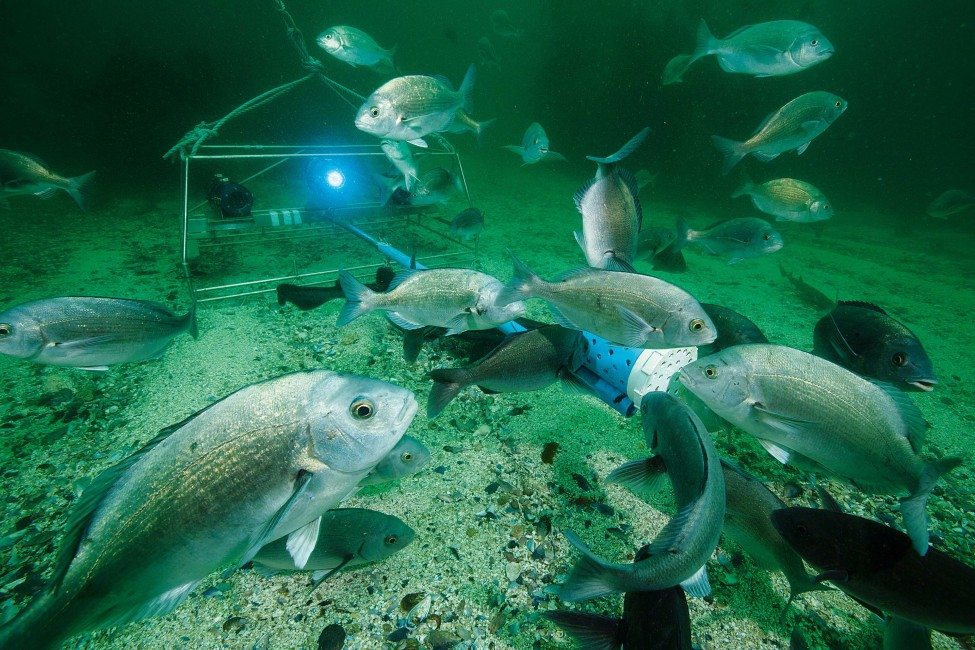 A baited underwater video system enables scientists to gather accurate information about the diversity, abundance and distribution of the reef fishes in False Bay. By using stereo cameras they can estimate the size and age of the fish drawn to the bait.