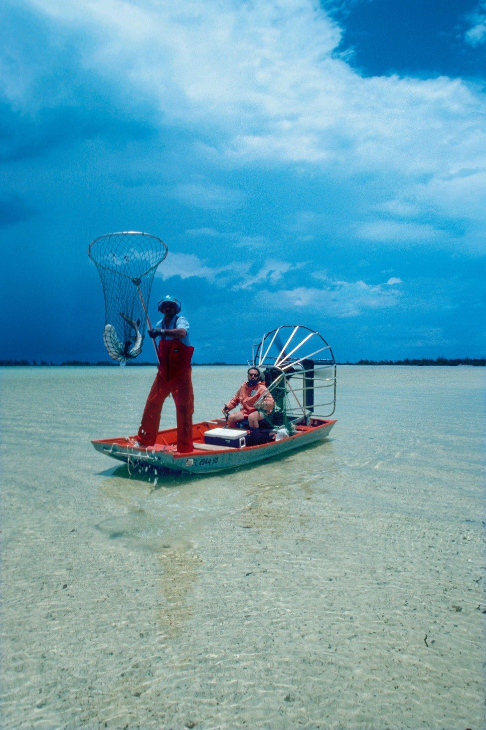Catching juvenile lemon sharks with a net from an airboat<br /> Photo by Doug Perrine