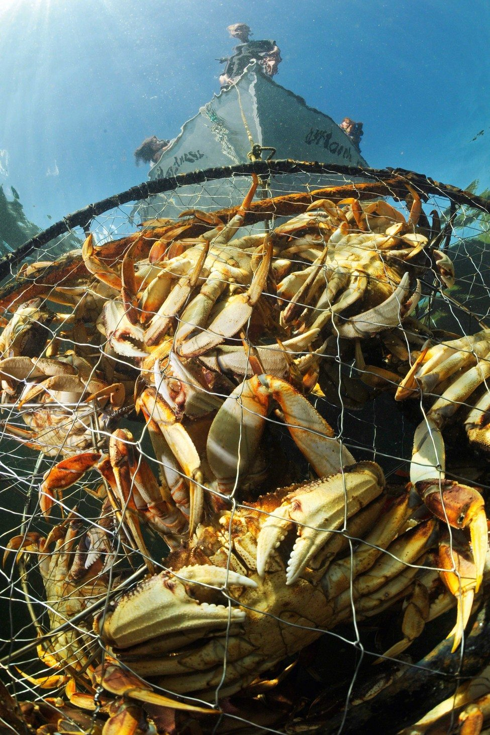 Considered to be the world's most delicious crustacean, the Dungeness crab is an important food source for the Gitga'at First Nation. Schoolteacher and Hartley Bay councillor Cameron Hill pulls up one of his traps filled with crabs.