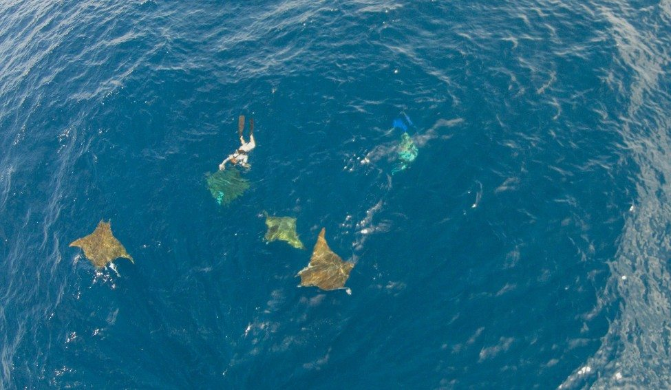 Mobula rays visit the archipelago seasonally and then leave again. Researchers are looking into how and why they use these islets.<br /> Photo by Ramon Bonfil