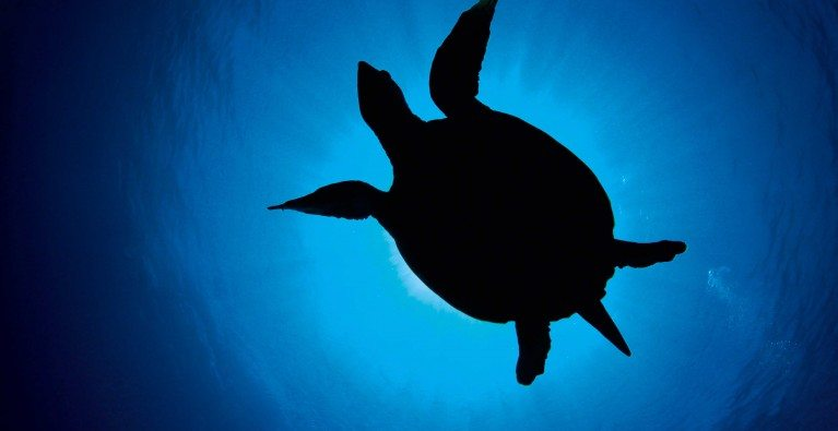Juvenile turtle breaks long-distance world record