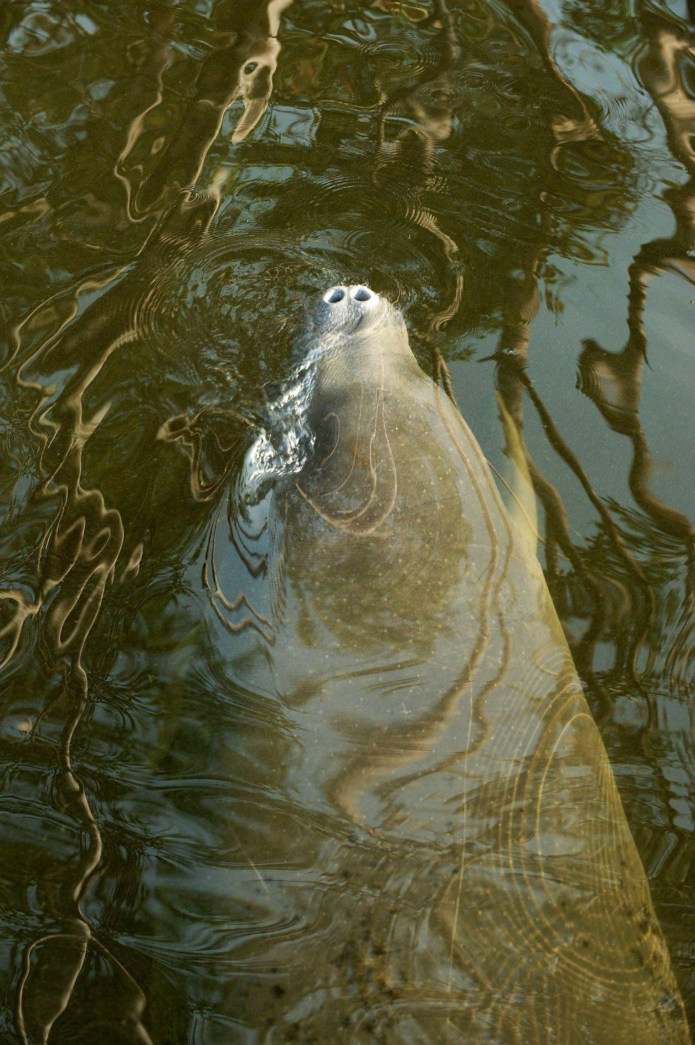 A manatee rises to take a breath in N'dogo Lagoon. Although there is a lot of legislation to protect the African manatee, including its listing in CITES Appendix 1, there is little enforcement to deter poachers.<br /> Photo by Thomas Peschak