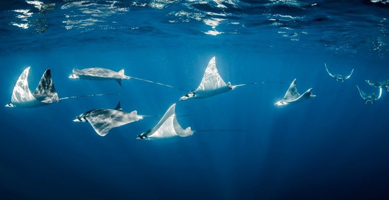 Fiji leads the way for Rays