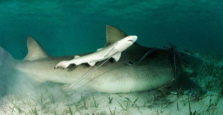 Lemon Sharks are how old?