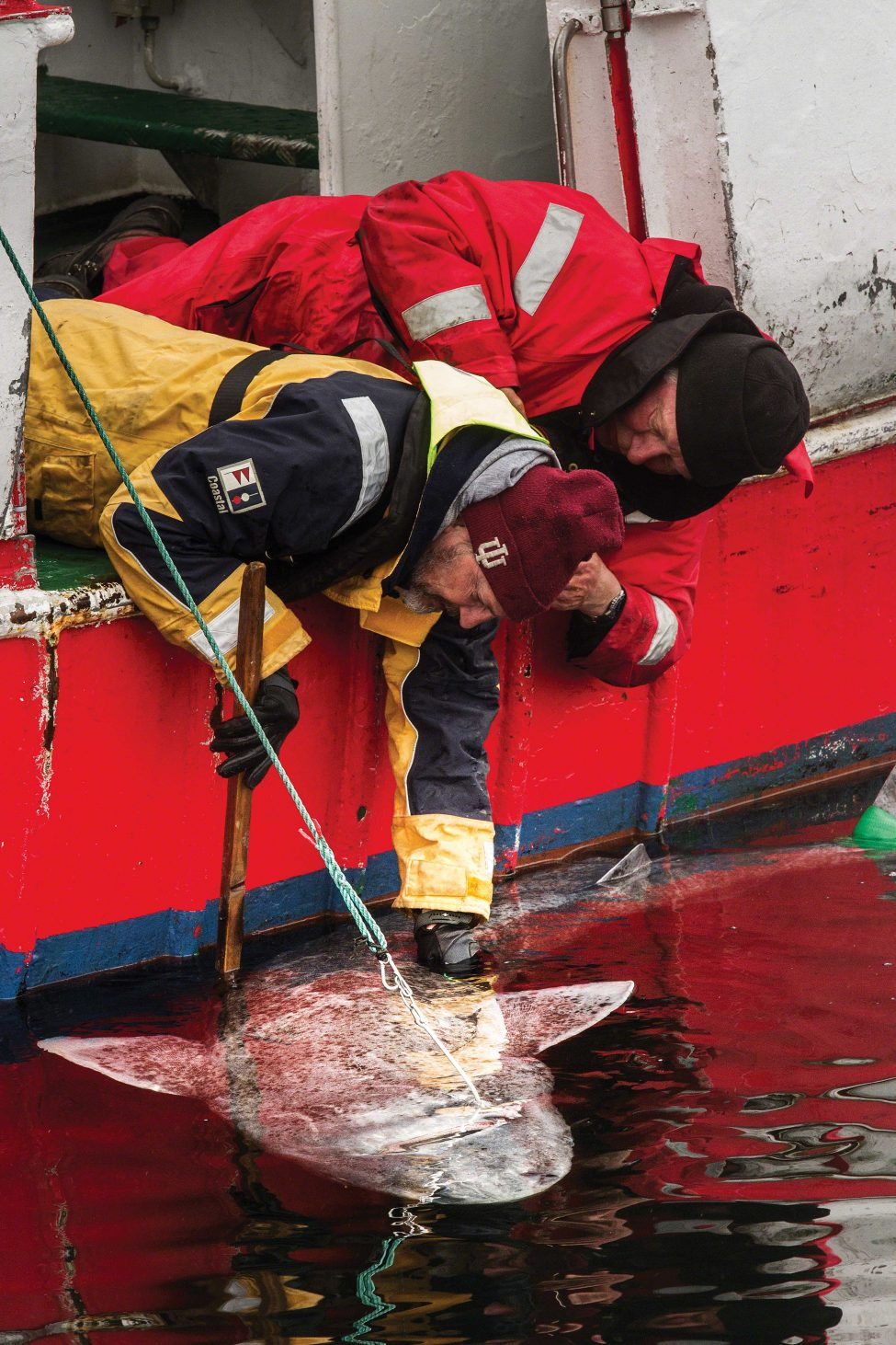 Peter Bushnell leans out of the research vessel to unhook an upside-down Greenland shark.<br /> Photo by Lucas Santucci | Under the Pole