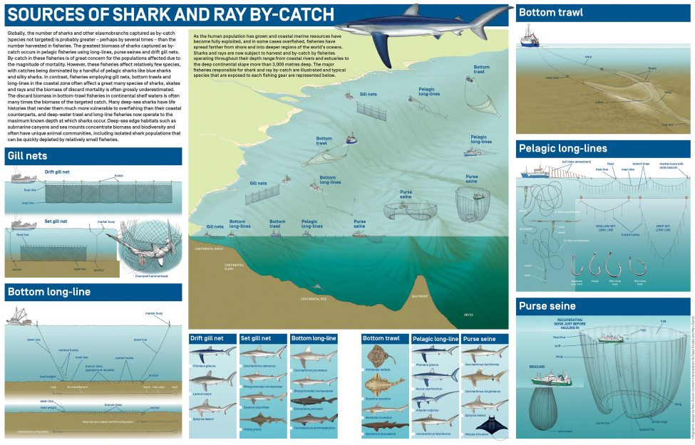 Sources of Shark and Ray By-Catch<br /> Infographic design by Marc Dando | Content interpretation by Dean Grubbs and Marc Dando | © Save Our Seas Foundation Copyright 2016