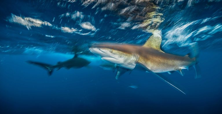 Whitetip sharks – and US Environmental Legislation – under threat