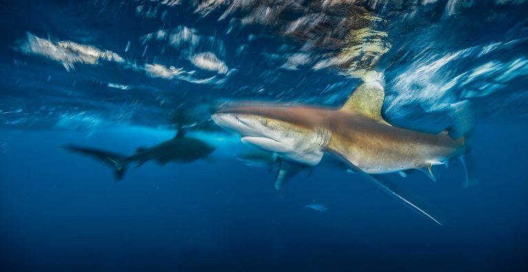 Whitetip sharks – and US Environmental Legislation – under threat