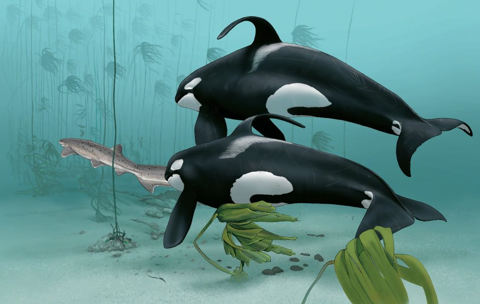 A broadnose sevengill shark flees killer whales hunting together in the kelp. <br /> Artwork by Marc Dando