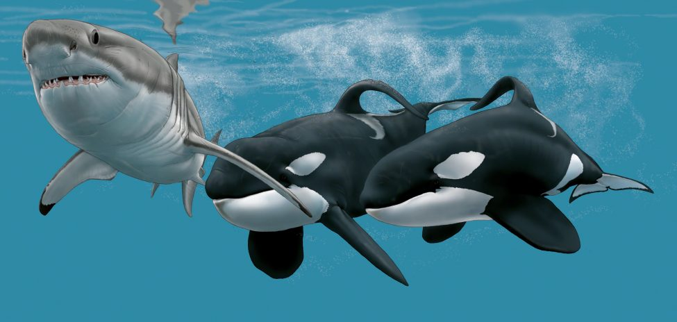 Port and Starboard chase down a great white shark. The orcas were named for the direction in which their fins flop: Port to the left, Starboard to the right.<br /> Artwork by Marc Dando
