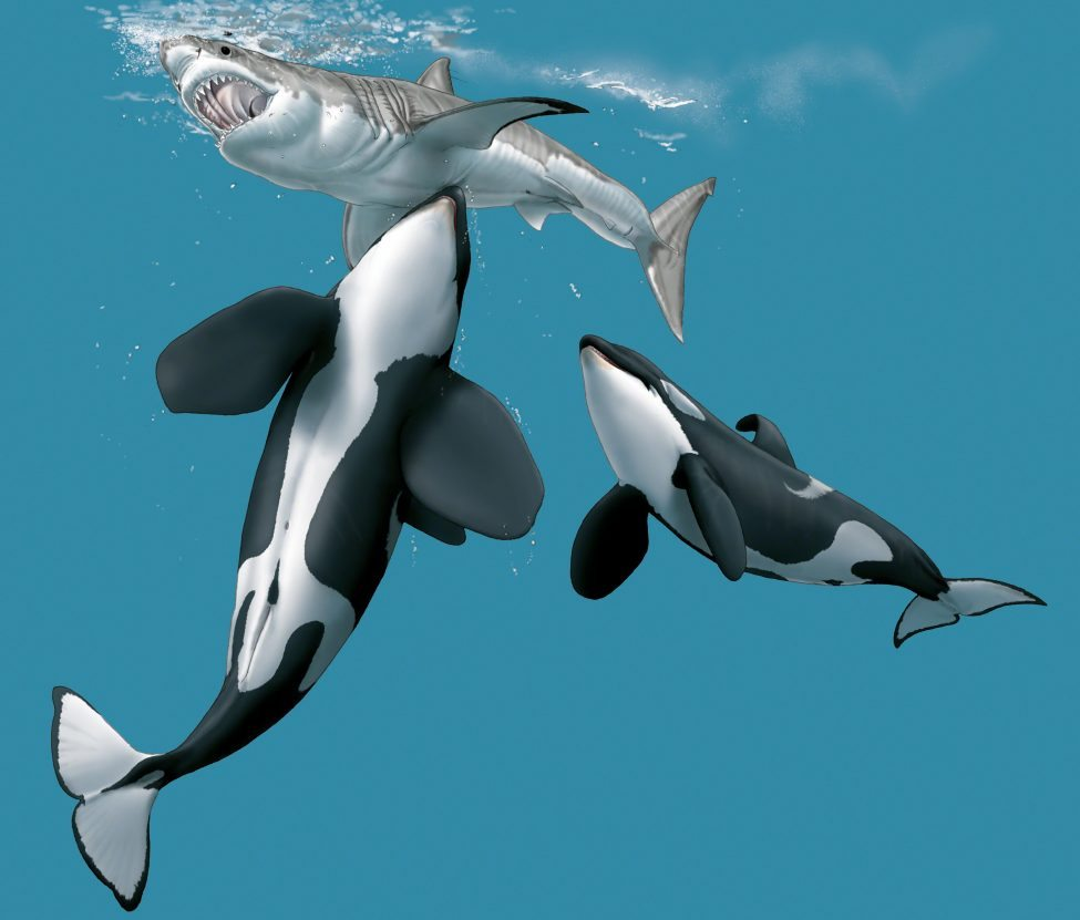 Killer whales coordinate an attack, aiming at the underbelly of a great white shark.<br /> Artwork by Marc Dando