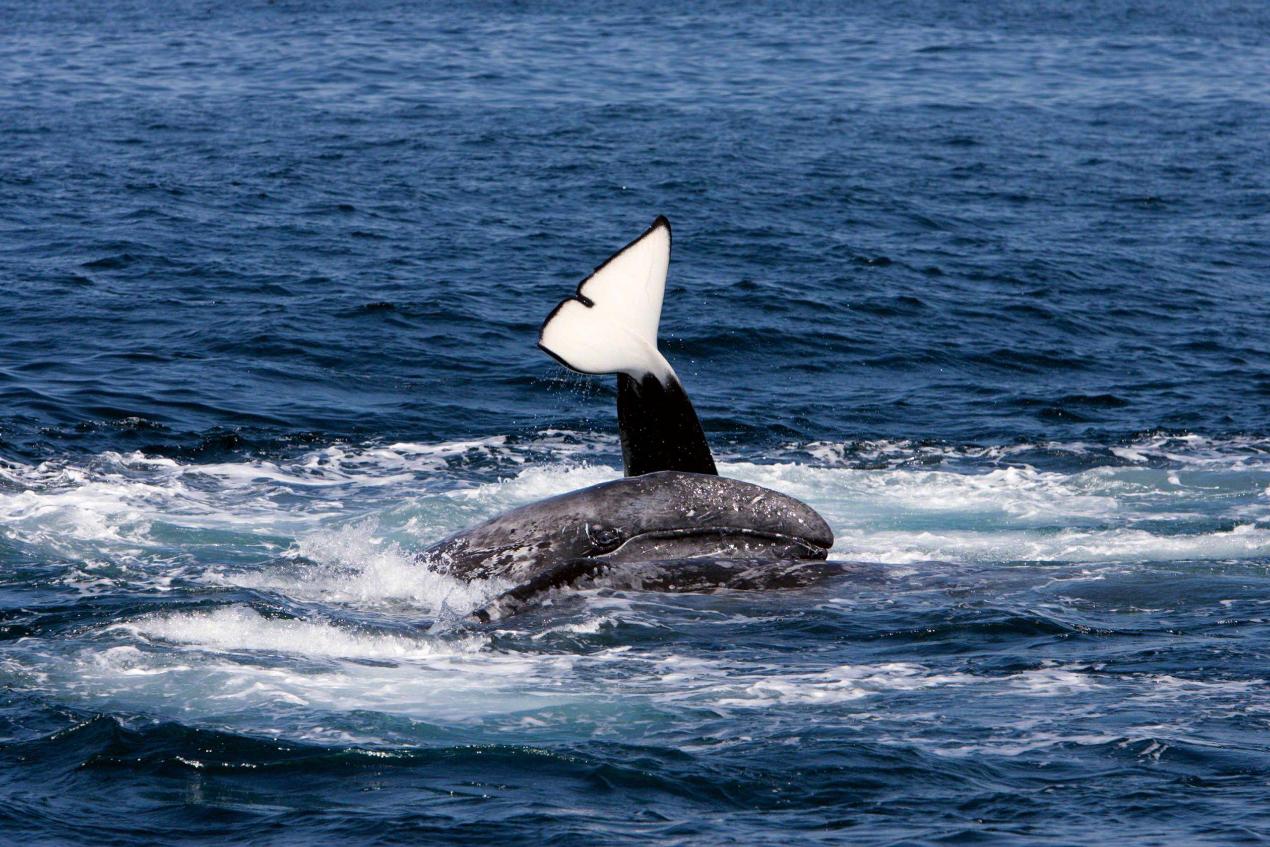 killer whale attacks - 964×643