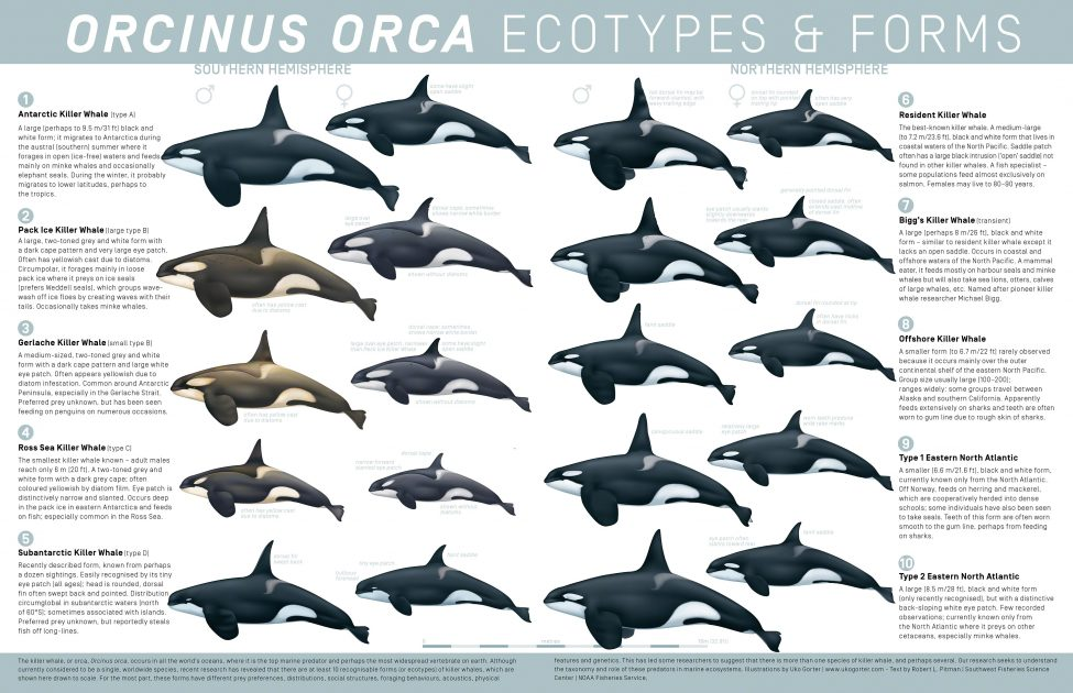 Orcinus orca Ecotypes and Forms<br /> Illustrations by Uko Gorter | www.ukogorter.com<br /> Text by Robert L. Pitman | Southwest Fisheries Science Center | NOAA Fisheries Service