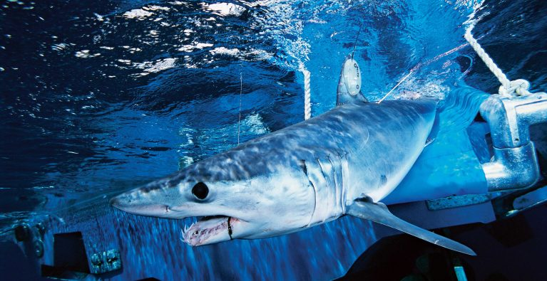 Shortfin Mako Sharks in big trouble