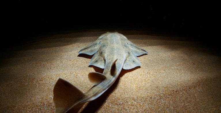 Secret Lives of Angelsharks